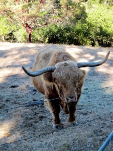 Long Horned Steer in California - Booker and Butler Concierges