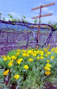 California Poppies in Wine Country - Booker and Butler Concierges